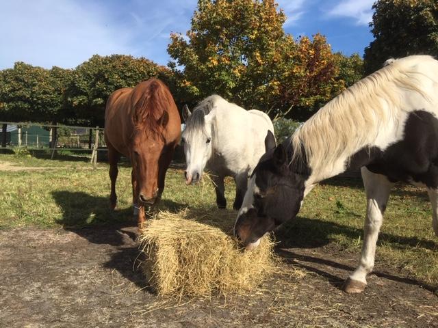 Hooi op de weide kan spijsverteringsproblemen voorkomen voor de overgang naar de stal