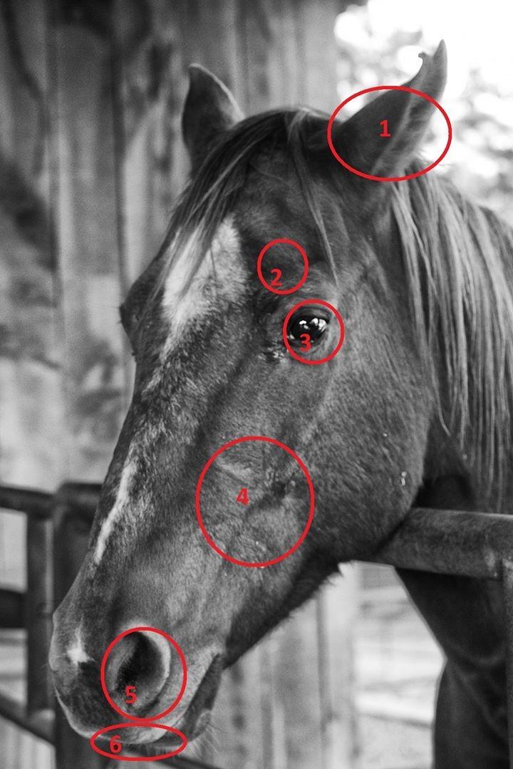 paard hoofdpijn